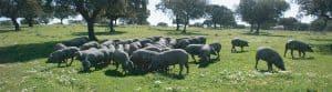 Iberian ham, Iberian pigs, pata negra ham, Iberico pork, jamón ibérico
