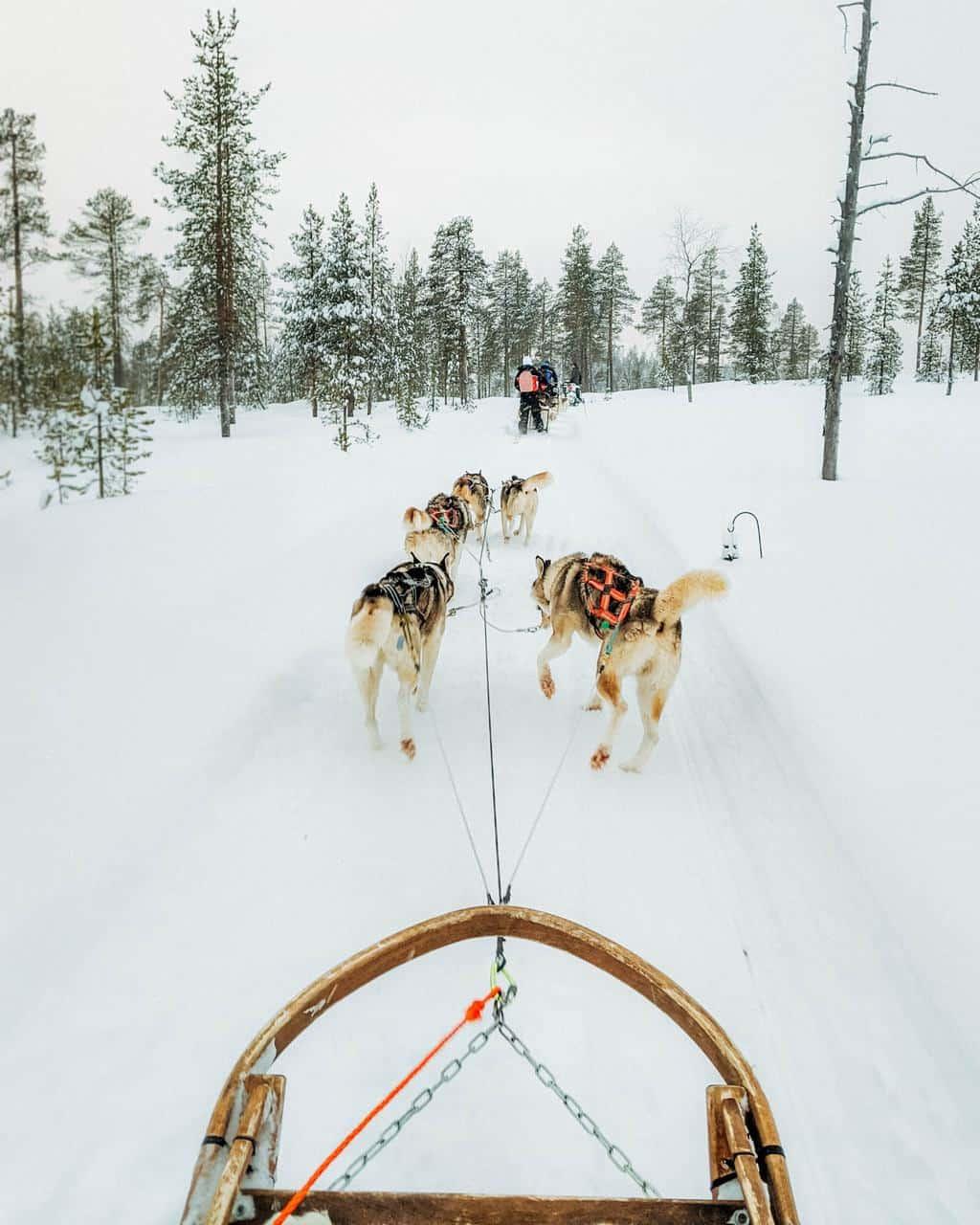 Husky sledding Finnish Lapland, Lapland destinations, Lapland Finland, Inghams