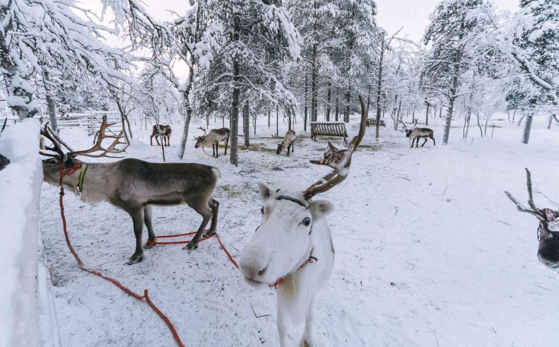 A reindeer Finnish Lapland, Lapland destinations, Lapland Finland, Inghams