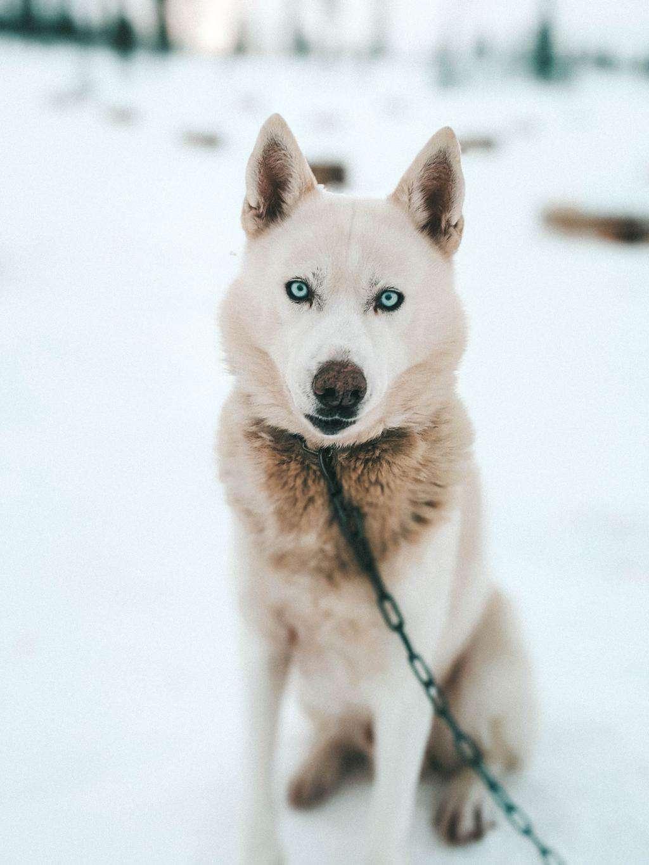 A Siberian husky Finnish Lapland, Lapland destinations, Lapland Finland, Inghams